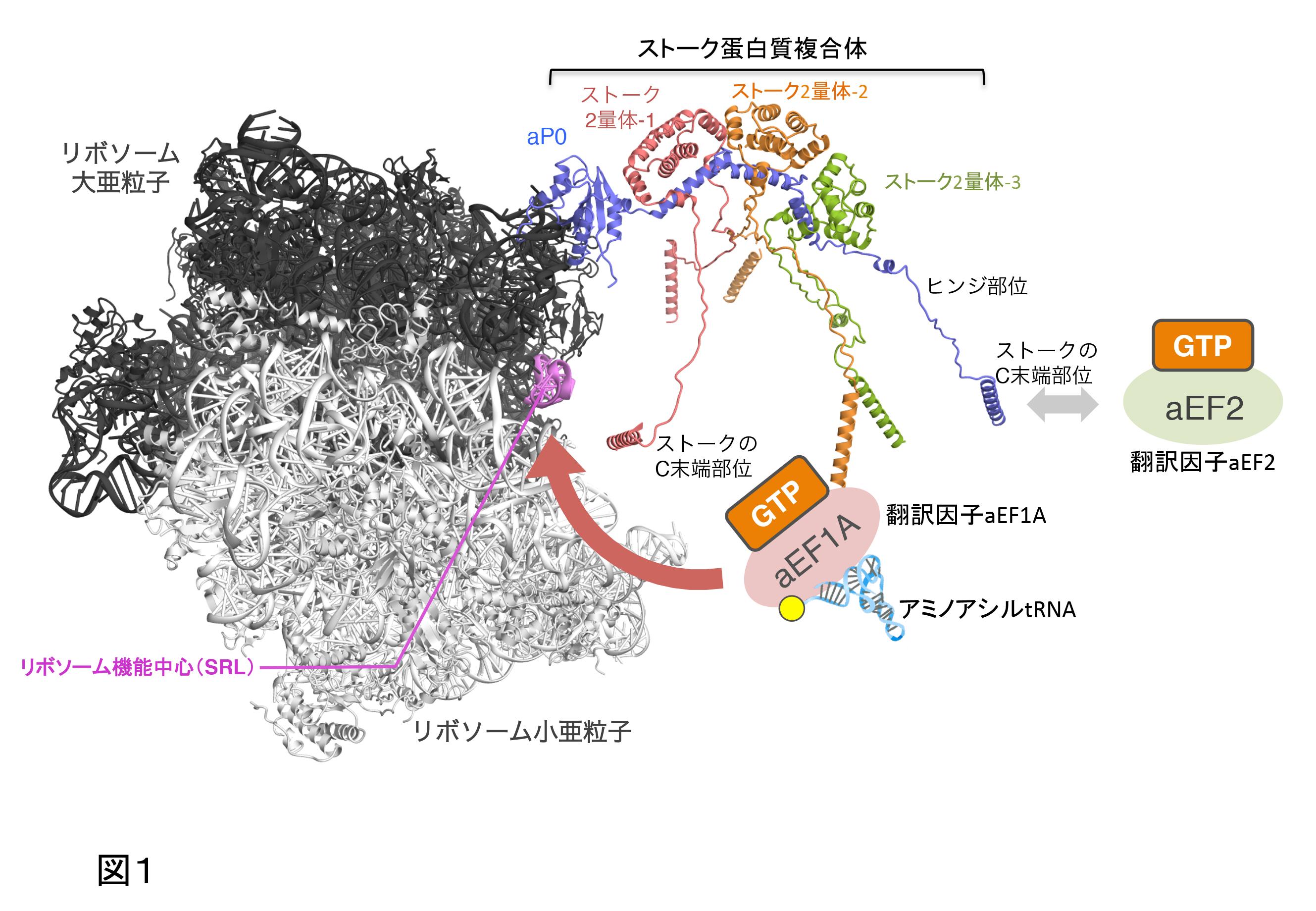 分子複合体形成の構造生物学的分...